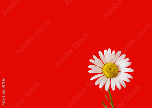 Foto op Canvas Madeliefjes daisy on red