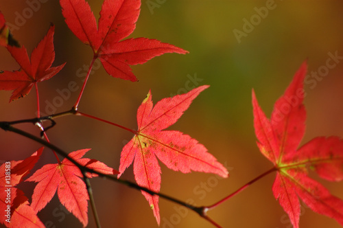 Leinwanddruck Bild japanese red maple leaves
