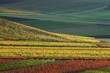 vineyard in autumn. germany