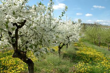 cherry garden in spring