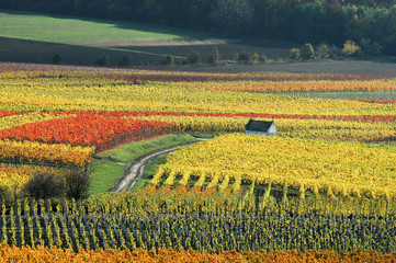 vineyard in autumn. germany