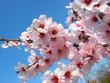 Leinwandbild Motiv cherry-tree flowers
