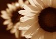 sunflower in sepia tone