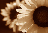 sunflower in sepia tone poster