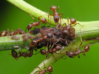 ants & aphis