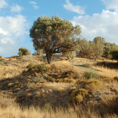 olive tree. crete, greece