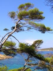 pin de la côte d'azur