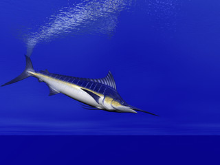marlin swimming