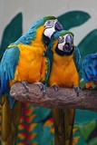 two parrots poster