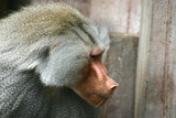 zoo monkey poster