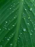 rain drops on a plant leaf poster