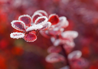 red leaves of berberis in the fall with frost