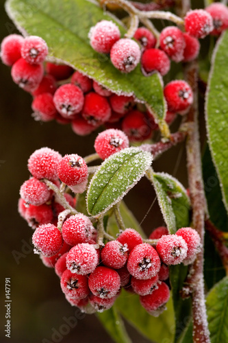 red berries in the frost