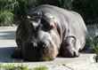 hippo relaxing
