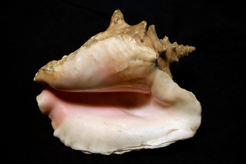 large conch seashell
