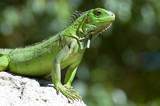 male green iguana poster