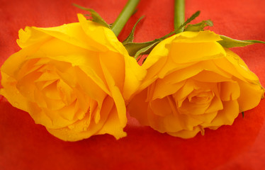 yellow roses on flame orange background