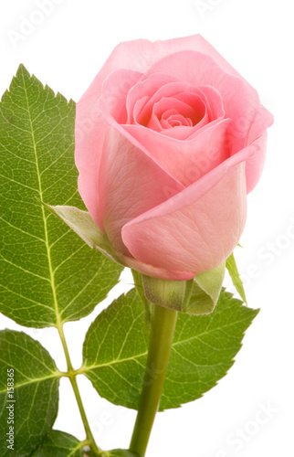 single pink rose, isolated, clipping path