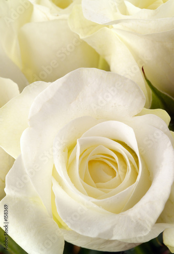 white rose blooms close up