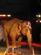 éléphant au cirque 37