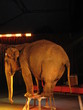 éléphant au cirque 39