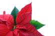 poinsettias close-up