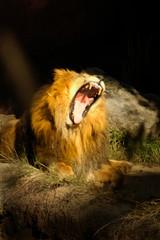 cat 0048 huge lion roar