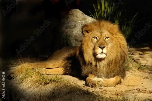 Quadro lion king sage vendita online quadri e stampe d arredo su