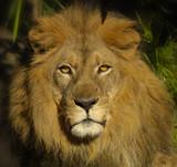 lion 7 poster