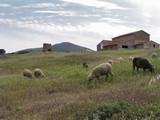 lamb,  sheep, farmland 1 poster
