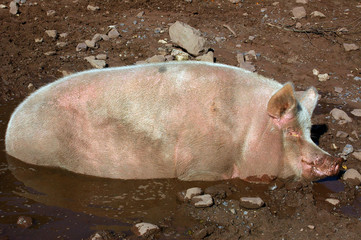 pig in mud hollow 01
