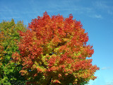 autumn sugar maple poster