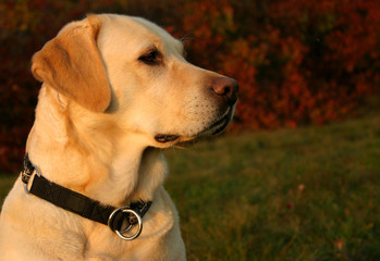 autumn labrador portrait
