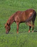 beautiful brown horse 2 poster