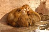 monkeys group poster