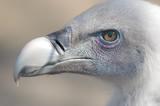 vulture beak poster