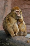 kid monkey poster