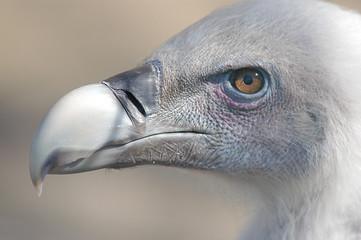 vulture beak