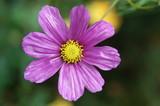 shine flower poster
