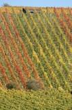 rows in vineyard poster