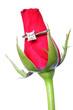 rosa con anillo