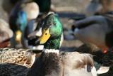 duck head poster