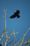crow in flight poster