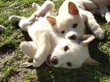 dingo puppies poster