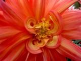 fleur rouge et orange poster