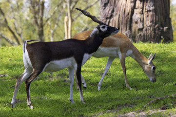 male and female blackbuck gazelle