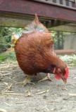 farmyard chicken poster