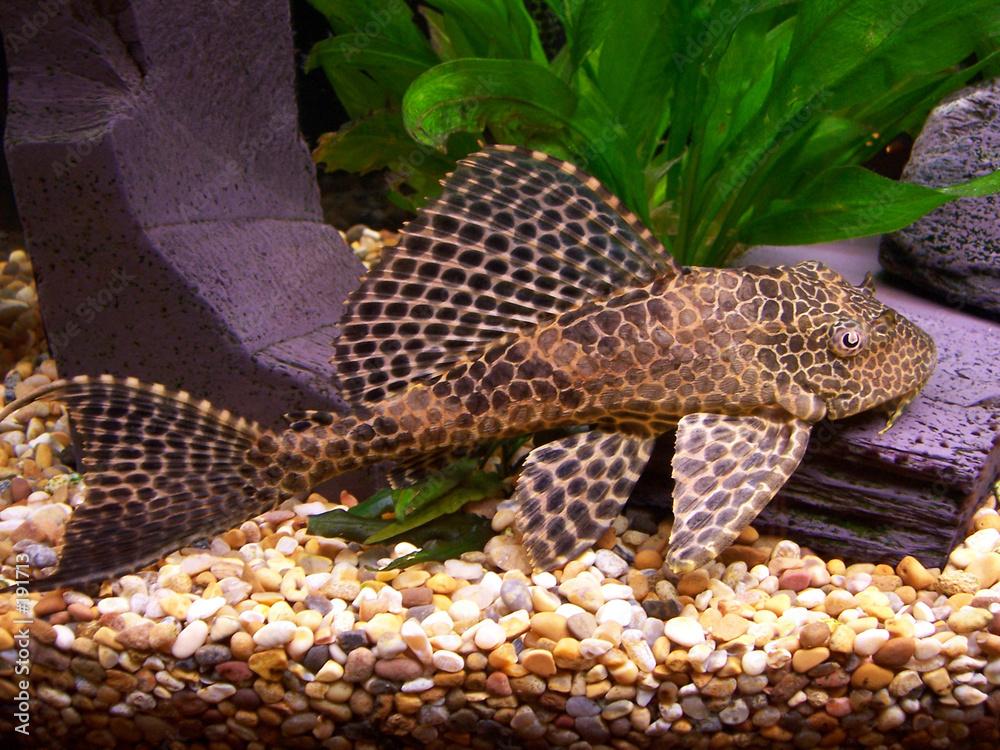 skrzele ryba akwarium - powiększenie