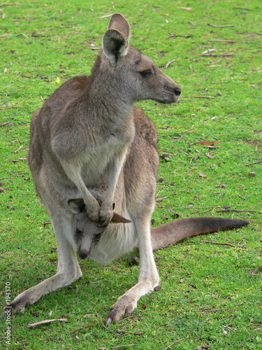 Deurstickers Kangoeroe grey kangaroo and joey