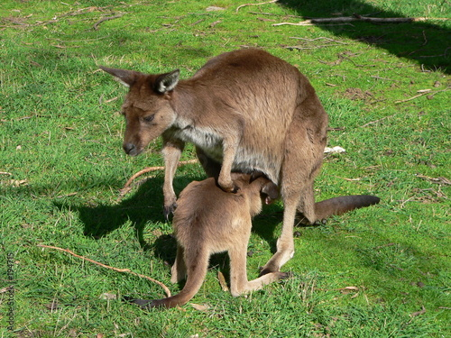 Poster Kangoeroe kangaroo island kangaroo and joey